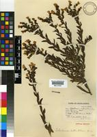 Syntype of Lobostemon hottentoticus Levyns [family BORAGINACEAE]