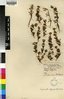 Holotype of Lampranthus stayneri (L.Bolus) N.E.Br. [family MESEMBRYANTHEMACEAE]