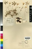Holotype of Oxalis dichotoma T.M.Salter [family OXALIDACEAE]