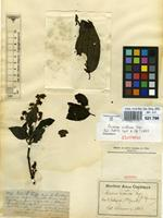 Isotype of Miconia violacea Cogn. [family MELASTOMATACEAE]