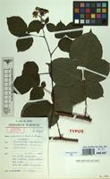 Isotype of Rubus passionis A.Beek & K.Meijer [family ROSACEAE]