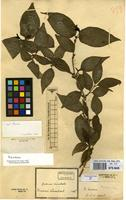 Filed as Unk.rubiaceae [family RUBIACEAE]