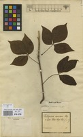Filed as Gamblea innovans (Siebold & Zucc.) C.B.Chang, Lowry & Frodin [family ARALIACEAE]