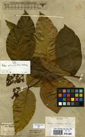 Type of Psychotria palicoureoides Mart. [family RUBIACEAE]