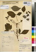 Holotype of Cissus penduloides Dewit [family VITACEAE]