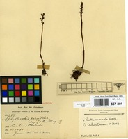 Isotype of Aphyllorchis parviflora King & Pantl. [family ORCHIDACEAE]