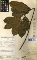 Filed as Drypetes gossweileri S.Moore [family EUPHORBIACEAE]