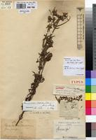 Holotype of Acrocephalus lescrauwaetii Robyns & Lebrun [family LAMIACEAE]