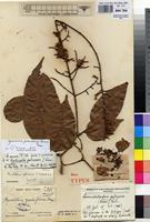Holotype of Anthonotha gabunensis J.Leonard [family FABACEAE]