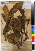 Holotype of Hugonia sapinii De Wild. [family LINACEAE]