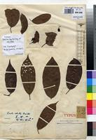 Type of Coula cabrae De Wild. & T.Durand [family OLACACEAE]