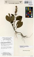 Filed as Staurogyne letestuana R.Benoist [family ACANTHACEAE]