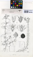 Filed as Uebelinia kigesiensis R.D.Good [family CARYOPHYLLACEAE]