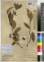 Isotype of Drypetes gerrardii Hutch. var. tomentosa Radcl.-Sm. [family EUPHORBIACEAE]