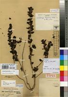 Isolectotype of Lindenbergia abyssinica Hochst. ex Benth. [family SCROPHULARIACEAE]
