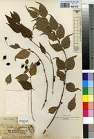 Isotype of Halleria abyssinica Jaub. & Spach [family SCROPHULARIACEAE]