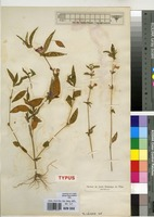 Isosyntype of Justicia galeopsis T.Anderson ex C.B.Clarke [family ACANTHACEAE]