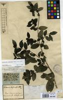 Filed as Forsteronia leptocarpa (Hook. & Arn.) A.DC. [family APOCYNACEAE]