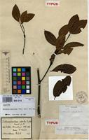 Lectotype of Tabernaemontana cestroides Nees ex Mart. [family APOCYNACEAE]