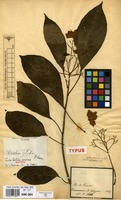 Isotype of Cordia latiloba I.M.Johnst. [family BORAGINACEAE]