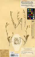 Isotype of Cleome mexicana Hemsl. [family CAPPARIDACEAE]