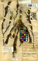 Isolectotype of Newcastelia viscida E.Pritz. [family LABIATAE]