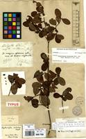 Isotype of Erythroxylum distortum Mart. [family ERYTHROXYLACEAE]