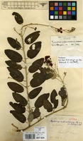 Isotype of Ryssopterys austrocaledonica Nied. [family MALPIGHIACEAE]
