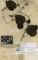 Isotype of Stigmaphyllon alternans Planch. & Triana [family MALPIGHIACEAE]