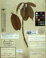 Isotype of Ocotea puchury-major Mart. in Buchner [family LAURACEAE]