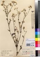 Isotype of Vernonia cinerea (L.) Less. var. ugandensis C.Jeffrey [family ASTERACEAE]