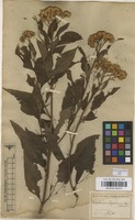 Filed as Eupatorium polystachyum DC. [family COMPOSITAE]