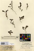 Type of Veronica dichrus Schott & Kotschy [family SCROPHULARIACEAE]