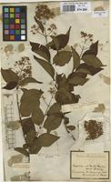 Filed as Machaonia brasiliensis (Hoffmanss. ex Humb.) Cham. & Schltdl. [family RUBIACEAE]
