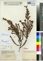 Isotype of Crotalaria cistoides Welw. ex Baker subsp. orientalis Polhill [family FABACEAE]