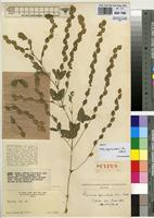 Isotype of Zornia apiculata Milne-Redh. [family FABACEAE]