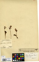 Type of Orchis stracheyi Hook.f. [family ORCHIDACEAE]