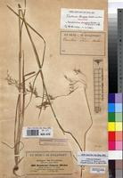 Isotype of Danthonia elongata Hochst. ex A.Rich. [family POACEAE]