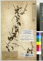 Isolectotype of Glycine abyssinica Hochst. ex A.Rich. [family FABACEAE]