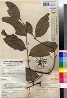 Type of Drypetes spinosodentata (Pax) Hutch. var. longipedunculata J.Leonard ined. [family EUPHORBIACEAE]