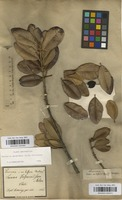 Filed as Pouteria splendens (A.DC.) Kuntze [family SAPOTACEAE]