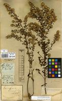 Filed as Baccharis linearifolia (Lam.) Pers. [family COMPOSITAE]