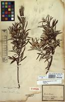 Syntype of Baccharis elaeagnoides Steud. ex Baker [family COMPOSITAE]