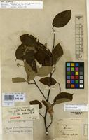 Holotype of Styrax glabrescens Benth. var. pilosus Perkins [family STYRACACEAE]