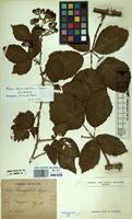Lectotype of Rubus thamnophilus Ripart ex Genev. [family ROSACEAE]