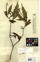 Isolectotype of Justicia gonystachya Nees & Mart. [family ACANTHACEAE]