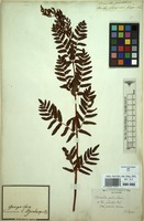 Filed as Osmunda regalis L. var. spectabilis (Willd.) A.Gray [family OSMUNDACEAE]