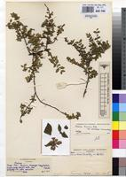 Isotype of Mostuea brunonis Didr. var. obcordata Leeuwenb. [family LOGANIACEAE]