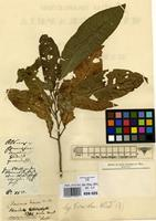 Filed as Allophylus dioicus Radlk. [family SAPINDACEAE]