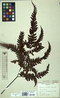 Isotype of Adiantum aneitense Carruth. [family ADIANTACEAE]